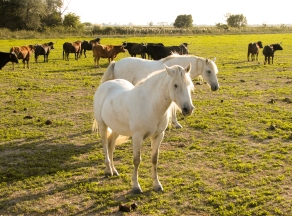 Horses_in_the_Camargue_1